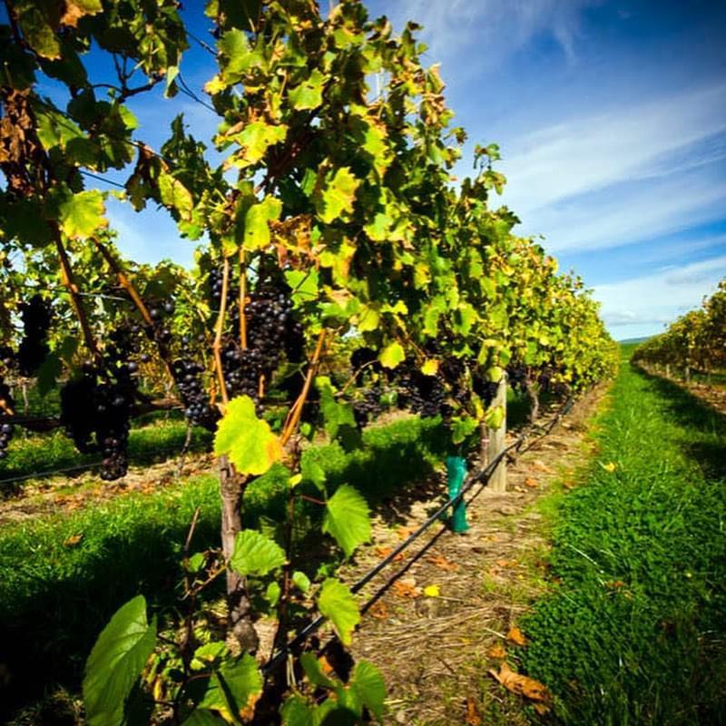 大沢ワインズブドウ畑